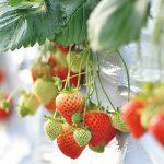 摘みたてを味わおう♪新潟県内のイチゴ狩りスポット12選
