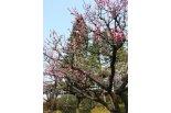 亀田の梅まつりは4/2日まで開催