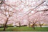 白山神社の春まつりがもうすぐ始まります♪