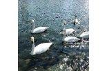 三条までドライブ。五十嵐川を優雅に泳ぐ白鳥の姿に癒や ...