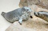 マリンピア日本海にゴマフアザラシの赤ちゃんが誕生!愛 ...