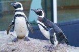 可愛いマゼランペンギン2羽がメディアシップにやってく ...
