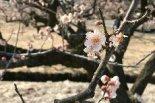 藤五郎梅で有名な亀田、梅の花が咲き始めています!もう ...