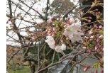 鳥屋野潟湖畔にある会社の桜がひと足早く咲きました♪