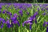 紫に染まる水辺がきれい!柏崎・夢の森公園のカキツバタ ...